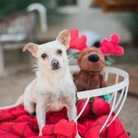 Adopt A Pet :: Peanut - Fredericksburg, TX