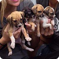 Adopt A Pet :: St Kitts 7 - Danbury, CT