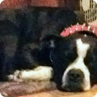American Pit Bull Terrier Dog for adoption in Bryn Mawr, Pennsylvania - Zeus
