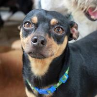 Adopt A Pet :: Chewy - Waco, TX