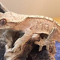 Adopt A Pet :: crested geckos - Hammond, IN