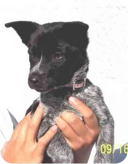 Australian Cattle Dog/Blue Heeler Mix Puppy for adoption in West Los Angeles, California - Teri