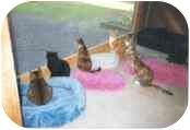 Domestic Shorthair Cat for adoption in Colmar, Pennsylvania - Barn Cats