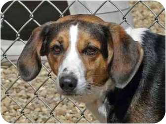 Beagle/Shepherd (Unknown Type) Mix Dog for adoption in Berea, Ohio - Flower
