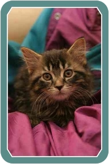 Domestic Mediumhair Kitten for adoption in Sterling Heights, Michigan - Hope - ADOPTED!
