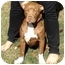 Photo 1 - American Pit Bull Terrier Mix Puppy for adoption in Berkeley, California - Chester