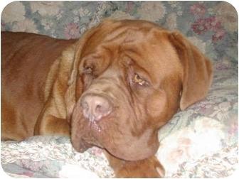 Dogue de Bordeaux Dog for adoption in San Fernando Valley, California - Butch