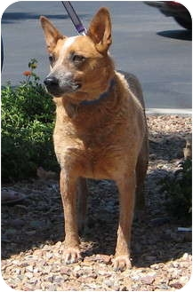 Australian Cattle Dog Dog for adoption in Phoenix, Arizona - Dixie