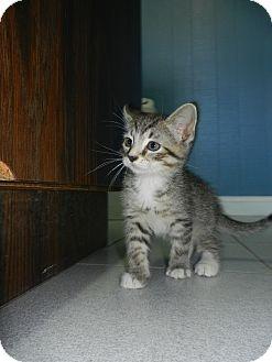 Domestic Shorthair Kitten for adoption in Morristown, New Jersey - Spot