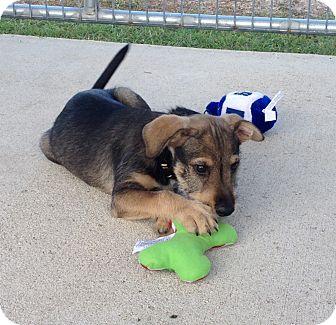 Schnauzer (Standard) Mix Puppy for adoption in Corpus Christi, Texas - Picasso