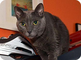 Russian Blue Cat for adoption in Brooklyn, New York - Sugar Daddy