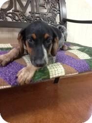 Labrador Retriever/Hound (Unknown Type) Mix Puppy for adoption in East Hartford, Connecticut - Luke meet me 8/23