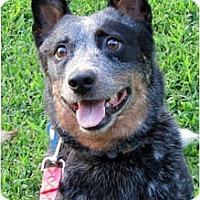 Adopt A Pet :: Dixie Darlin' - Siler City, NC