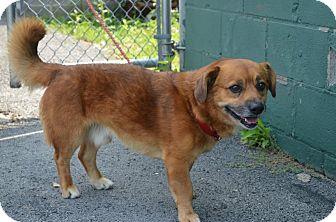 Pekingese Mix Dog for adoption in Morgantown, West Virginia - Roy