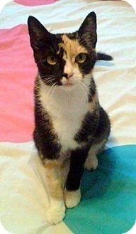 Domestic Shorthair Cat for adoption in Las Vegas, Nevada - Minnie
