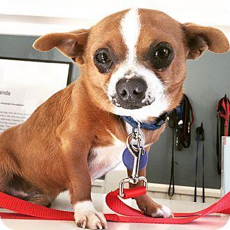 Chihuahua/Dachshund Mix Dog for adoption in Los Angeles, California - Tony