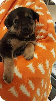 German Shepherd Dog/Labrador Retriever Mix Puppy for adoption in Orland Park, Illinois - M1 - Male Shep