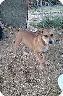 Labrador Retriever/Boxer Mix Puppy for adoption in Staunton, Virginia - Izzy