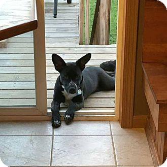 Australian Cattle Dog Mix Puppy for adoption in Brookings, South Dakota - Darla