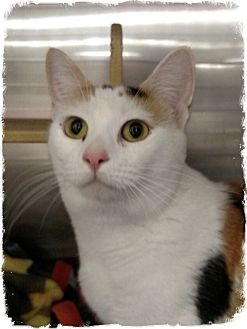 Domestic Shorthair Cat for adoption in Pueblo West, Colorado - Banja