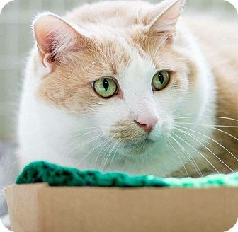 Domestic Shorthair Cat for adoption in Clarksville, Tennessee - Bruce