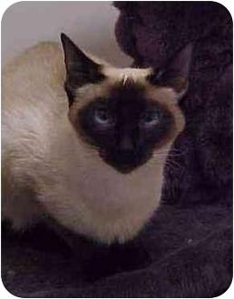Siamese Cat for adoption in Spokane, Washington - Taos