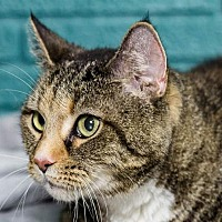 Domestic Shorthair Cat for adoption in Fort Lauderdale, Florida - Ming Mei
