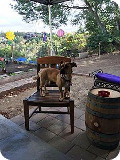 Corgi/Shepherd (Unknown Type) Mix Puppy for adoption in Sonoma, California - Georgia