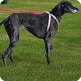 Great Dane Dog for adoption in Indianapolis, Indiana - Millie