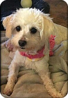 Maltese Mix Dog for adoption in San Diego, California - Merlot