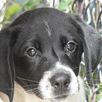 Adopt A Pet :: Chrissy - Long Beach, NY