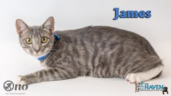 Domestic Shorthair/Domestic Shorthair Mix Cat for adoption in Fairhope, Alabama - James
