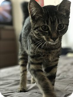 Domestic Shorthair Kitten for adoption in Virginia Beach, Virginia - Buttercup