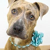 Adopt A Pet :: Stella - Dublin, CA