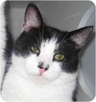 Domestic Shorthair Cat for adoption in Homestead, Florida - Fitch