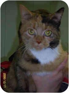 Calico Cat for adoption in Elliot Lake, Ontario - Capri
