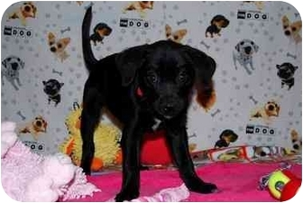 Border Collie/Terrier (Unknown Type, Small) Mix Puppy for adoption in Broomfield, Colorado - Fredonia
