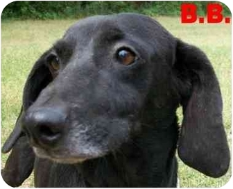 Dachshund/Labrador Retriever Mix Dog for adoption in Ozark, Alabama - B.B.