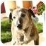 Photo 2 - Catahoula Leopard Dog/Labrador Retriever Mix Dog for adoption in Berkeley, California - Agnes
