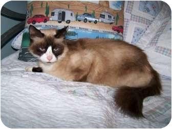 Snowshoe Cat for adoption in St. Louis, Missouri - Danielle