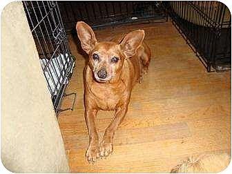 Miniature Pinscher Mix Dog for adoption in Leesport, Pennsylvania - Dwight