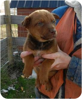 Rottweiler Mix Puppy for adoption in Lawrenceburg, Tennessee - Christopher