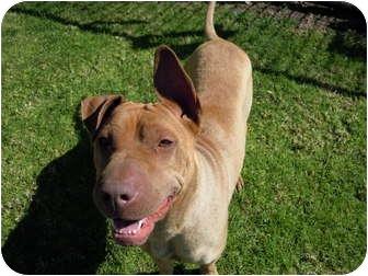 Shar Pei/Labrador Retriever Mix Dog for adoption in El Cajon, California - Susy Q