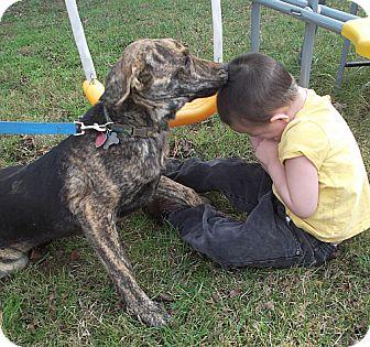 Plott Hound Dog for adoption in Portland, Maine - Apollo-Urgent! Reduced by $150