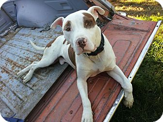 American Staffordshire Terrier/Pit Bull Terrier Mix Dog for adoption in kenmore, Washington - Hobby