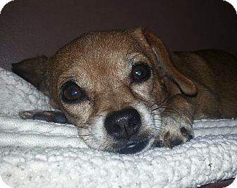 Chihuahua/Pug Mix Dog for adoption in Chicago, Illinois - Reecie (gentle!)