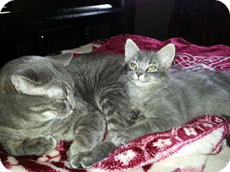 Domestic Mediumhair Kitten for adoption in Clearfield, Utah - Mallerd