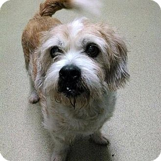 Border Terrier Mix Dog for adoption in Palatine, Illinois - Hector