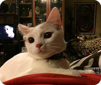 Domestic Shorthair Cat for adoption in O'Fallon, Missouri - Galaxy