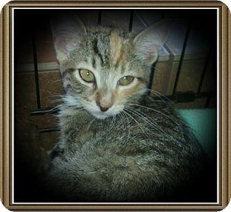 Domestic Shorthair Kitten for adoption in Richmond, California - Louise